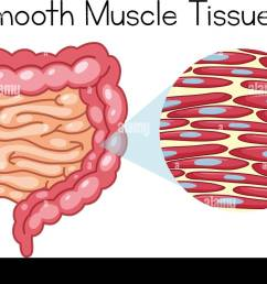 anatomy of smooth muscle tissue illustration stock image [ 1300 x 975 Pixel ]