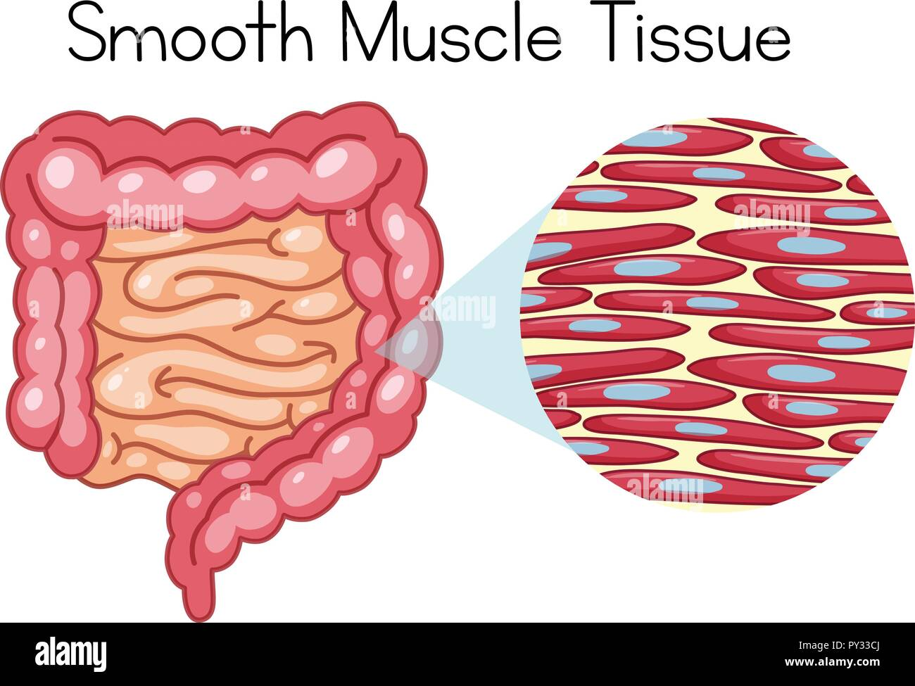 hight resolution of anatomy of smooth muscle tissue illustration stock image