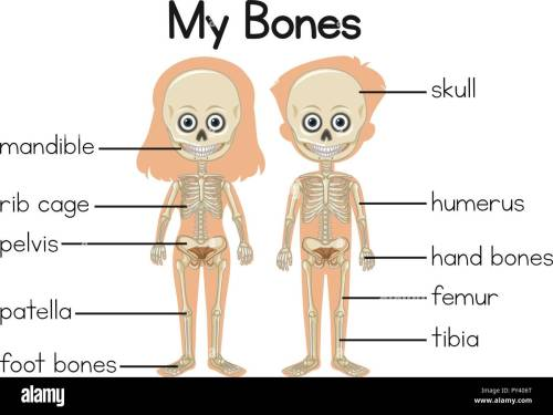 small resolution of my bones diagram with two children illustration stock vector