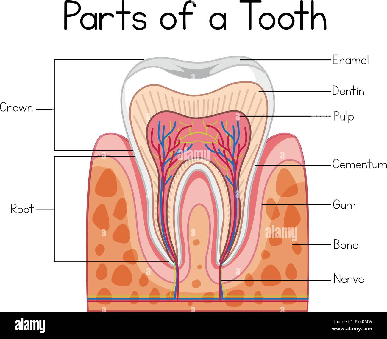 hight resolution of parts of a human tooth illustration stock image