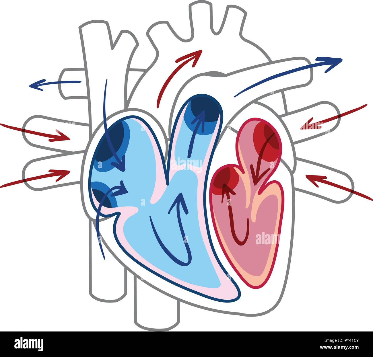 hight resolution of blood flow of the heart diagram illustration