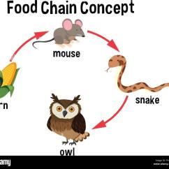 Alligator Food Chain Diagram 2006 Mitsubishi Eclipse Car Radio Wiring Animal Illustration Stock Photos And