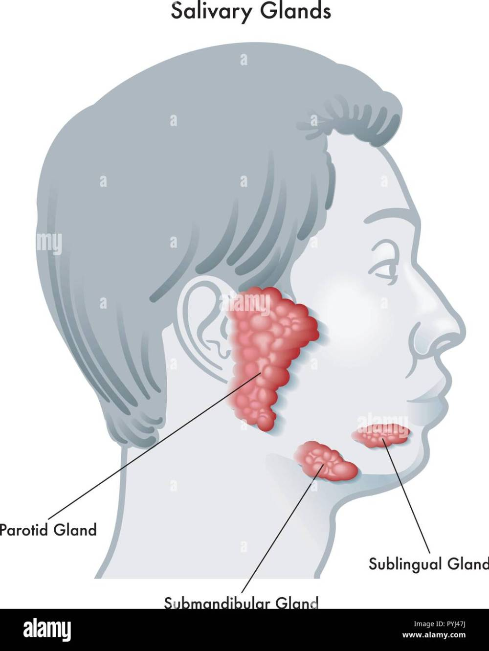 medium resolution of vector illustration diagram of a face in profile noting the salivary glands and their locations