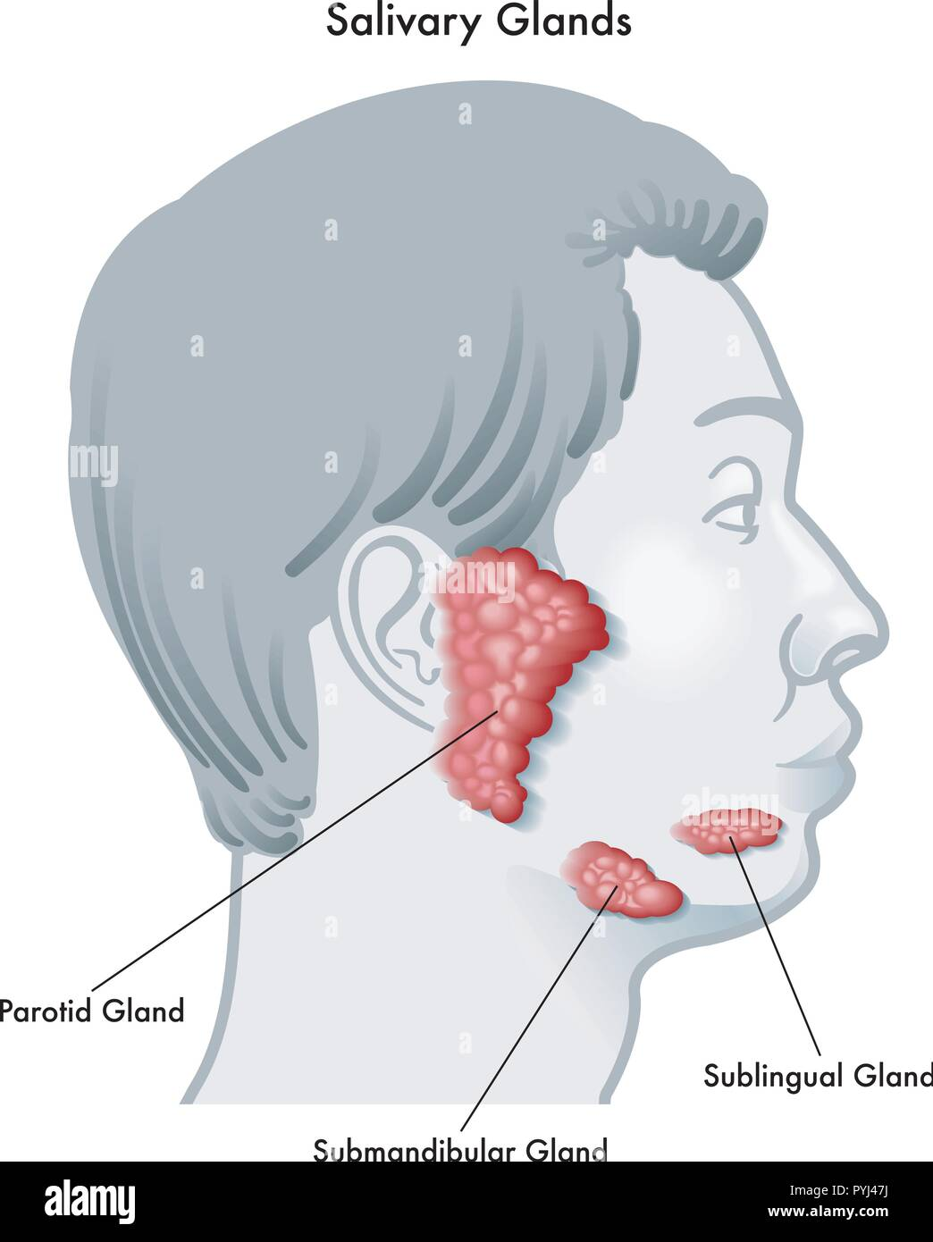 hight resolution of vector illustration diagram of a face in profile noting the salivary glands and their locations