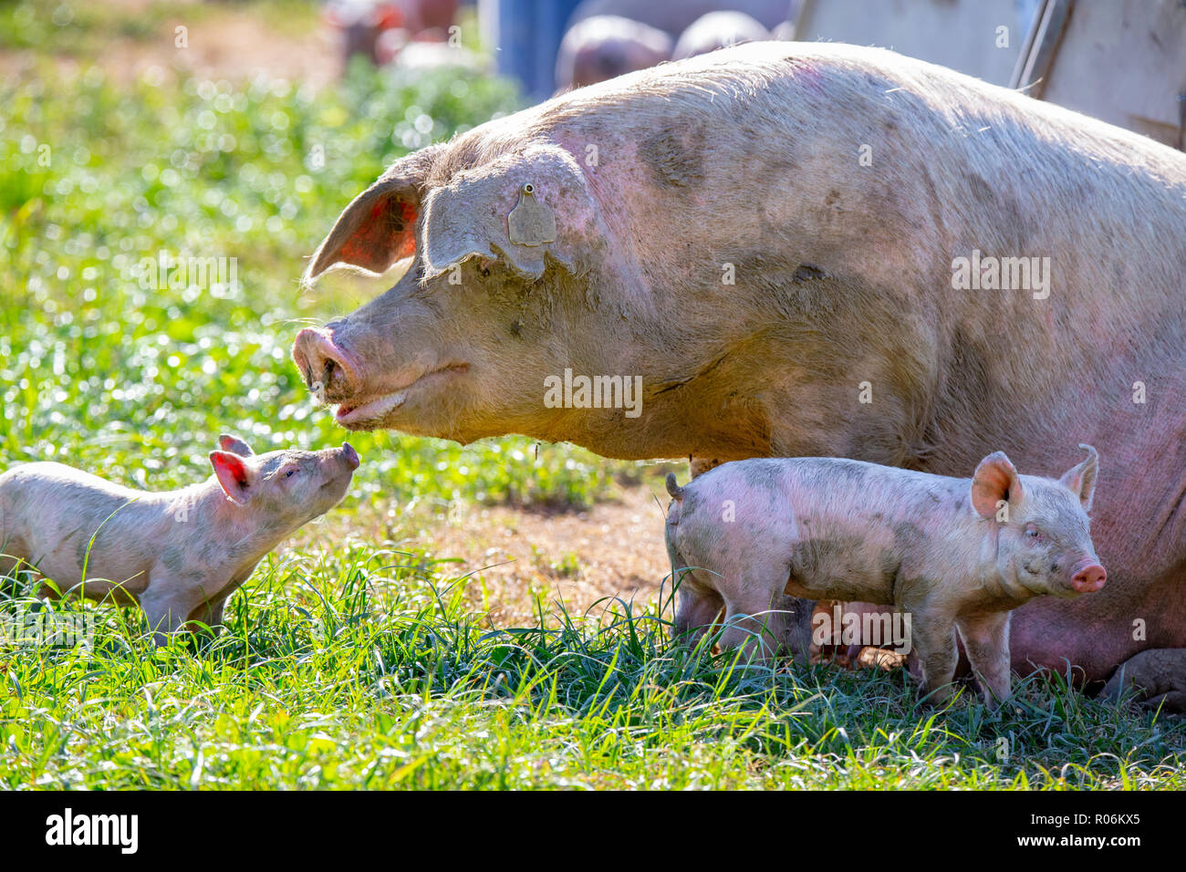 baby pigs stock photos