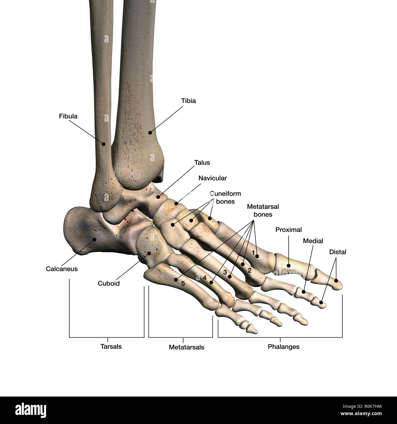 hight resolution of bones of human foot with labels