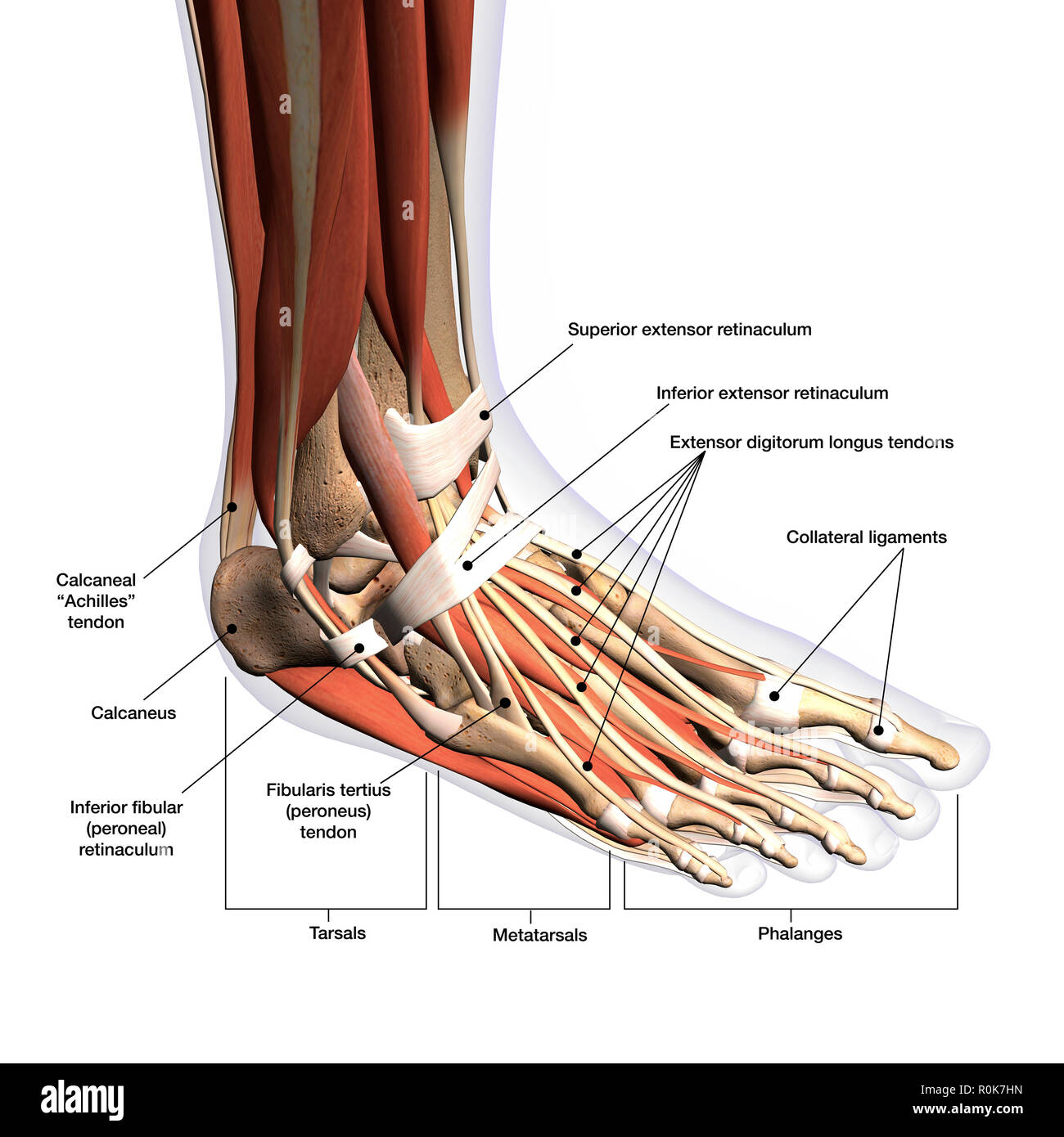 hight resolution of anatomical diagram of foot