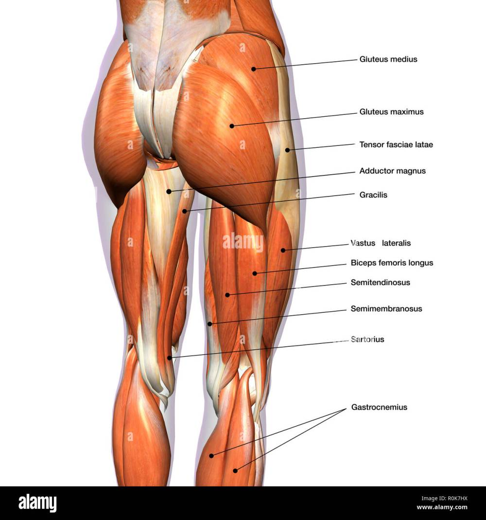 medium resolution of rear view of female hip and leg muscles with labels stock image