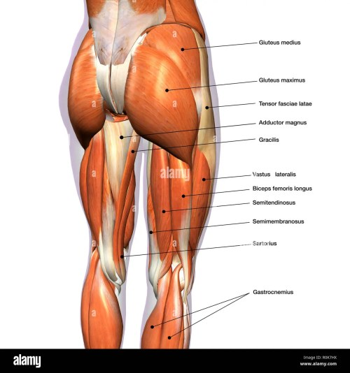 small resolution of rear view of female hip and leg muscles with labels stock image