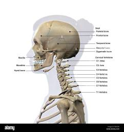 lateral view of a woman s skull and cervical spine labeled stock image [ 1300 x 1390 Pixel ]