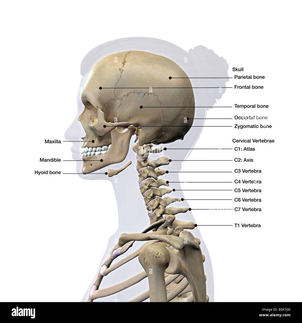 medium resolution of lateral view of a woman s skull and cervical spine labeled stock image