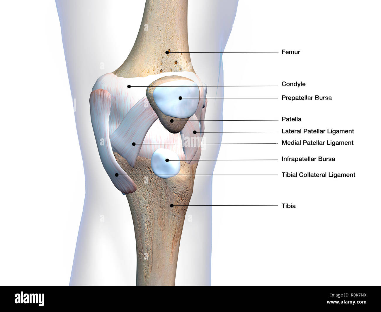 hight resolution of knee joint bone and connective tissue with labels
