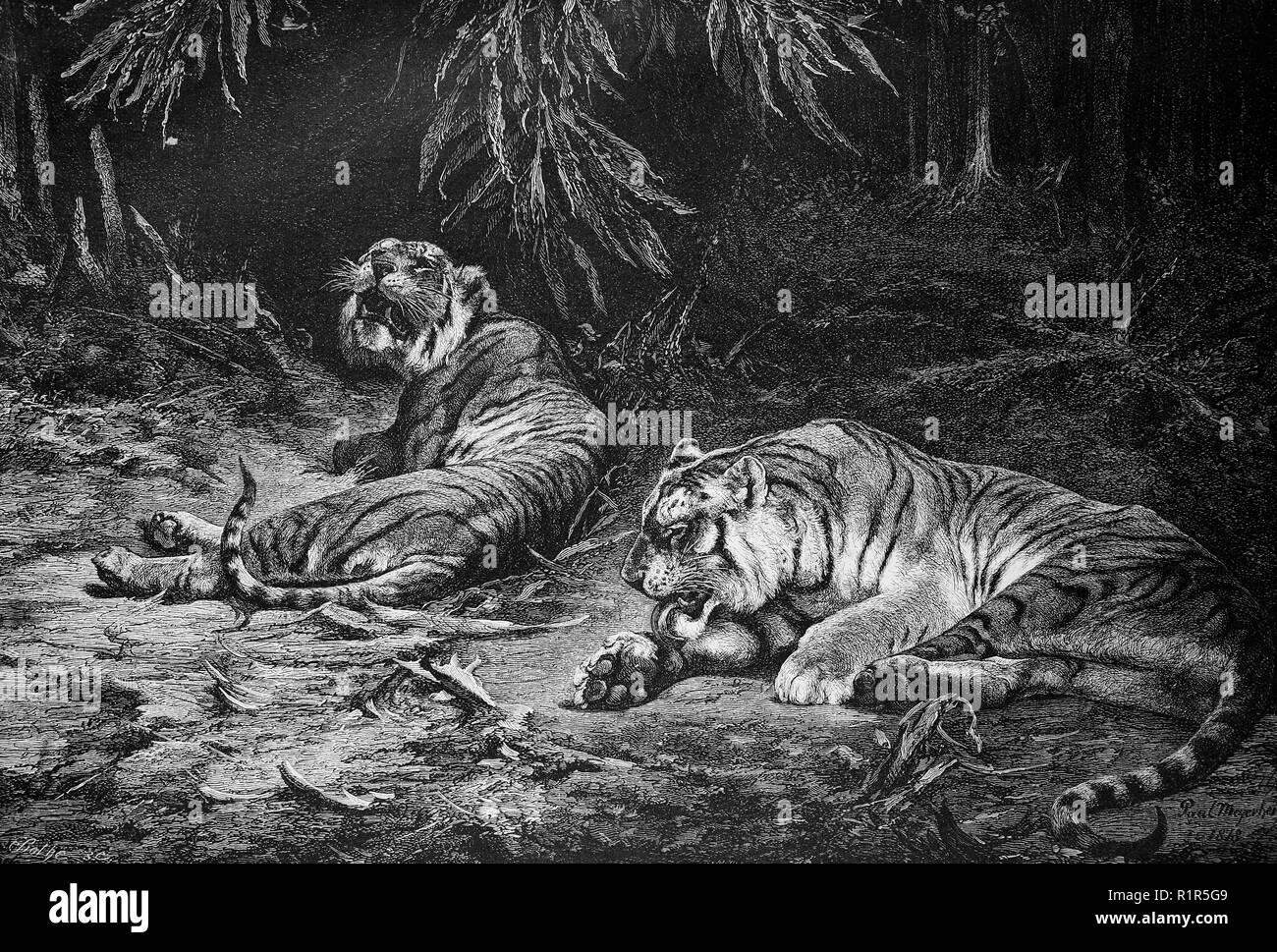 Indian Tiger Worksheet