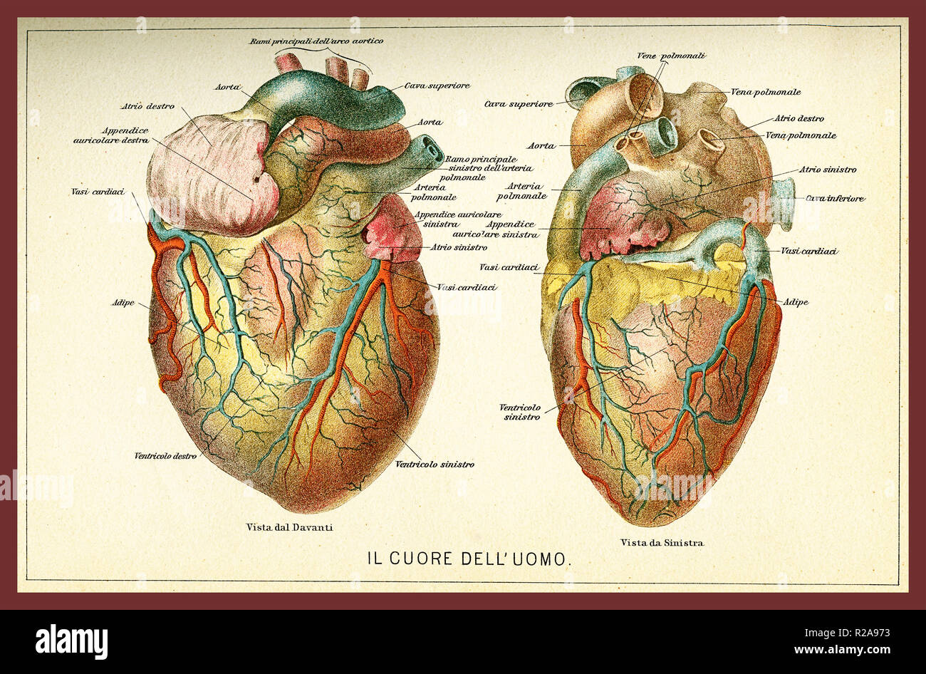 anatomical heart diagram minn kota riptide 80 wiring antique stock photos vintage color table of anatomy human with descriptions in italian image