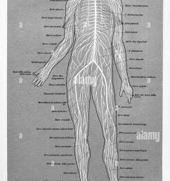 vintage illustration of anatomy human brain spinal cord and spinal nerves with italian anatomical [ 796 x 1390 Pixel ]