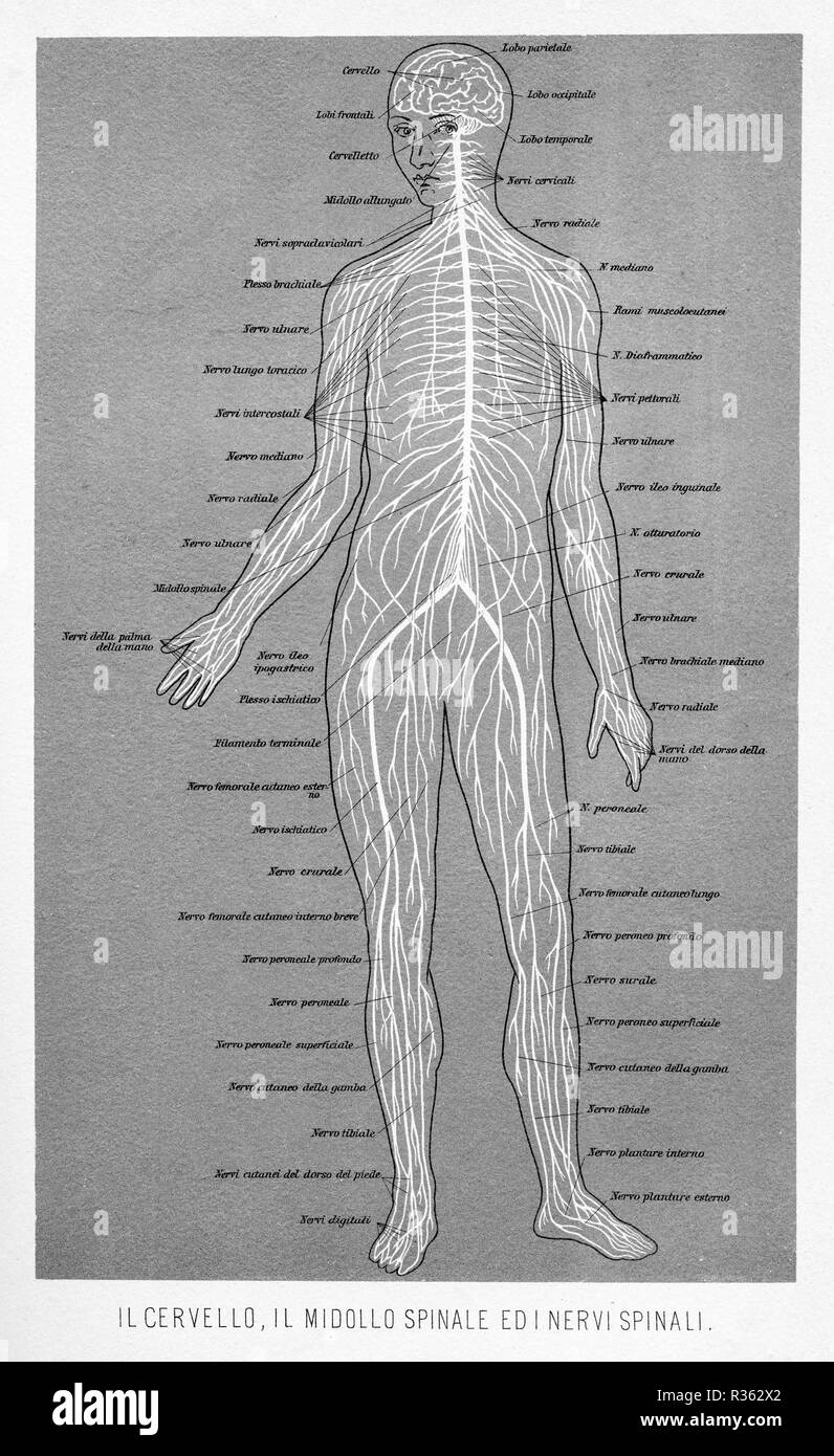 hight resolution of vintage illustration of anatomy human brain spinal cord and spinal nerves with italian anatomical