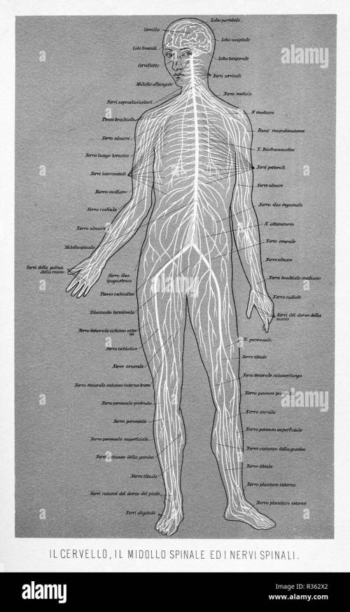 small resolution of vintage illustration of anatomy human brain spinal cord and spinal nerves with italian anatomical