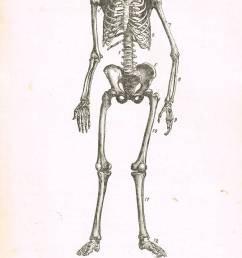 the human skeleton a 19th century diagram stock image [ 848 x 1390 Pixel ]