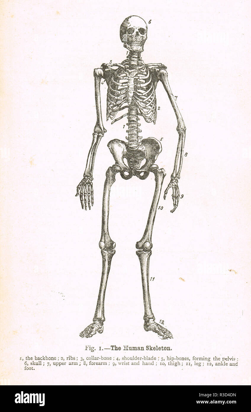 hight resolution of the human skeleton a 19th century diagram stock image