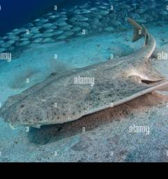 angel shark squatina squatina iucn has evaluated the angelfish as a critically endangered [ 1300 x 957 Pixel ]