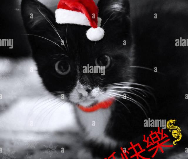 Cute Little Black With White Christmas Kitten A Funny Kitten With Santa Hat Greeting Card With A Cute Kitten And Christmas Chinese Message