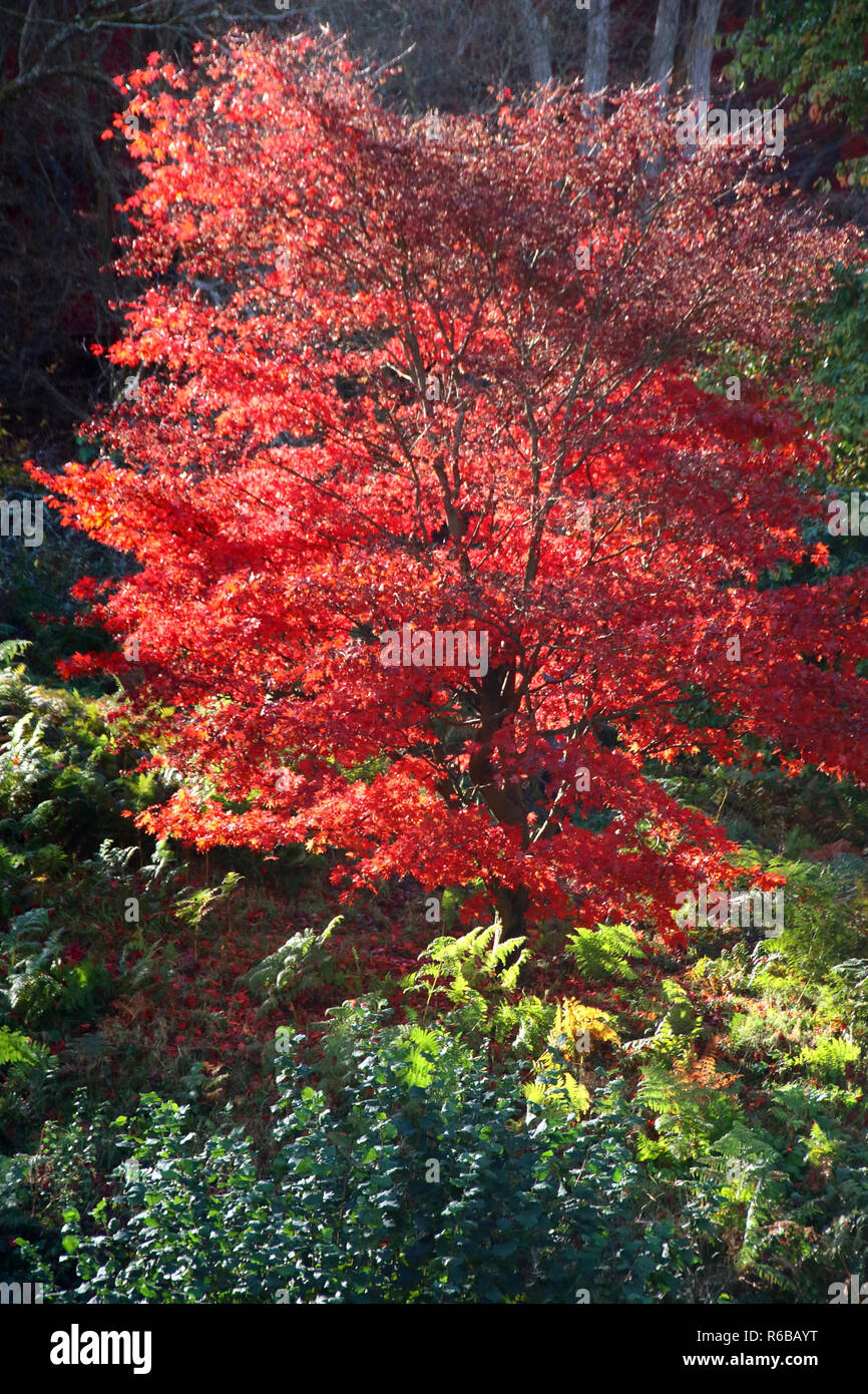Japanese Maples And Colourful Acers Highlight The