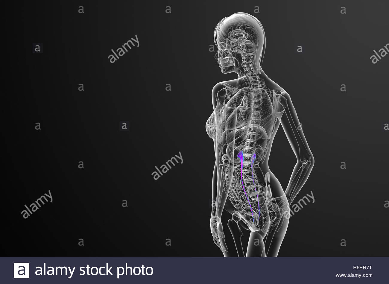 hight resolution of 3d render medical illustration of the ureter side view stock image