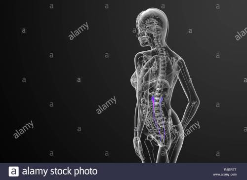 small resolution of 3d render medical illustration of the ureter side view stock image