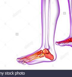 3d render medical illustration of the foot bone side view [ 1300 x 947 Pixel ]