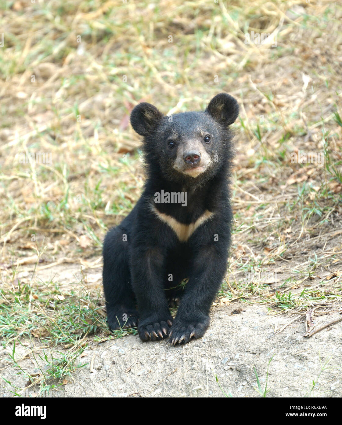 young asiatic black bear
