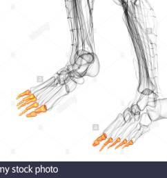 3d render medical illustration of the phalanges foot bottom view [ 1300 x 956 Pixel ]