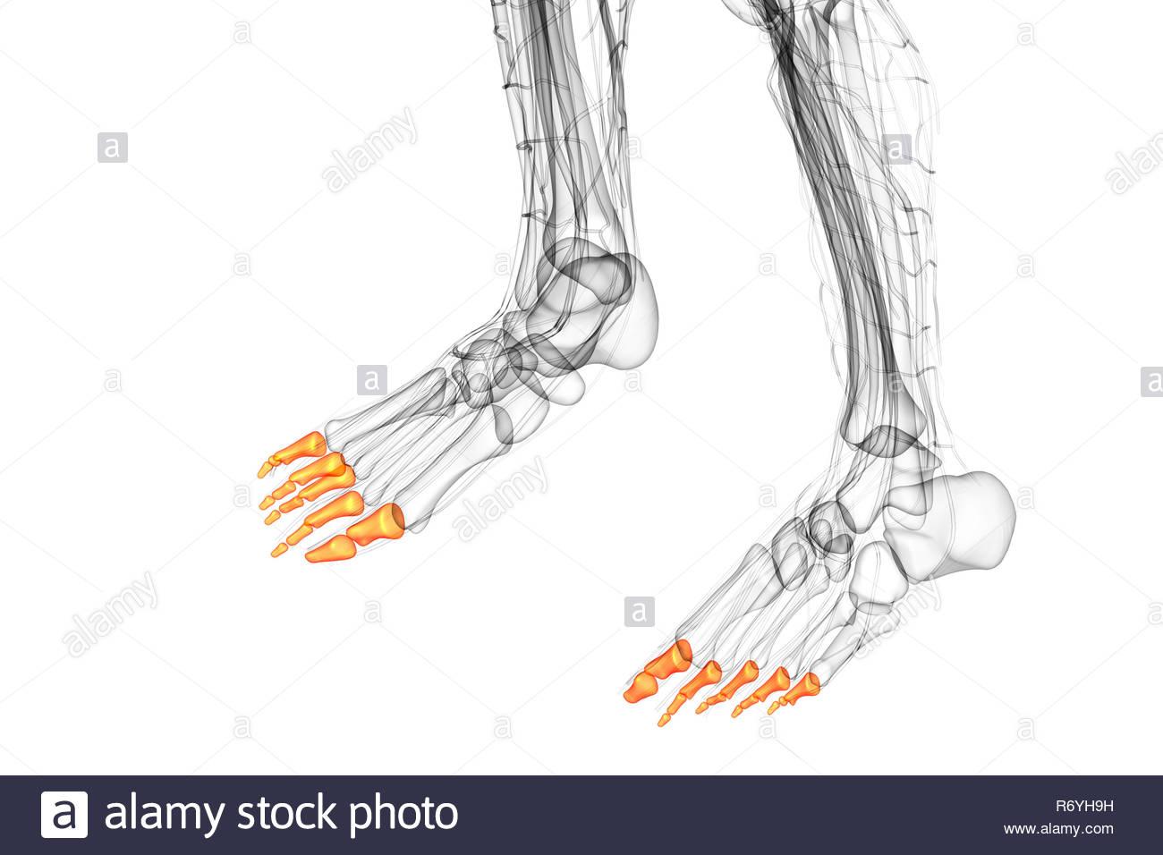 hight resolution of 3d render medical illustration of the phalanges foot bottom view