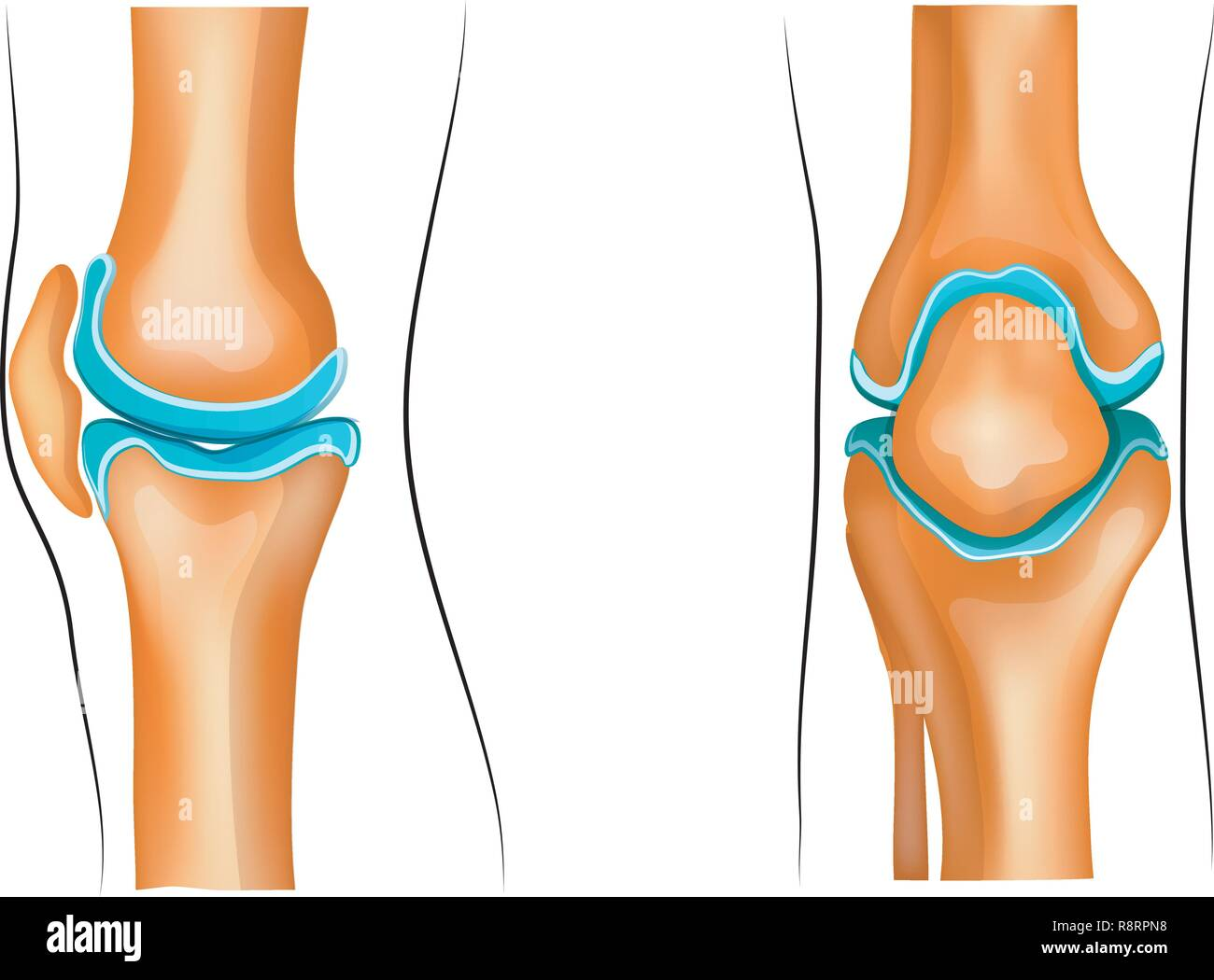 hight resolution of vector illustration of a healthy knee joint stock image
