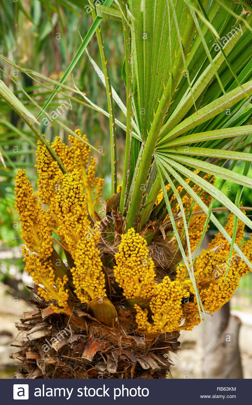 Image result for california fan palm flowers