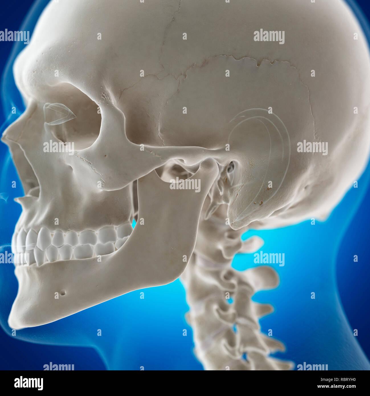 hight resolution of illustration of the temporomandibular joint stock image