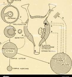 a composite diagram of the relation between the pituitary the ovaries the uterus and the placenta  [ 1210 x 1390 Pixel ]
