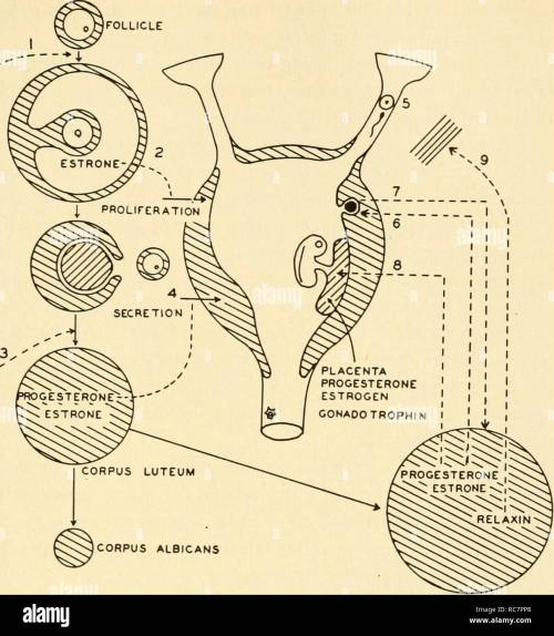 small resolution of a composite diagram of the relation between the pituitary the ovaries the uterus and the placenta