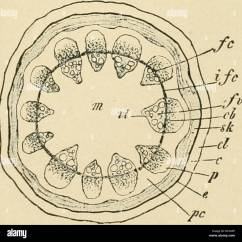 Plant Pith Diagram Cross Section 2003 Impala Wiring Stem Stock Photos Images Diseases Of Economic Plants Fig 205 Stomata Or