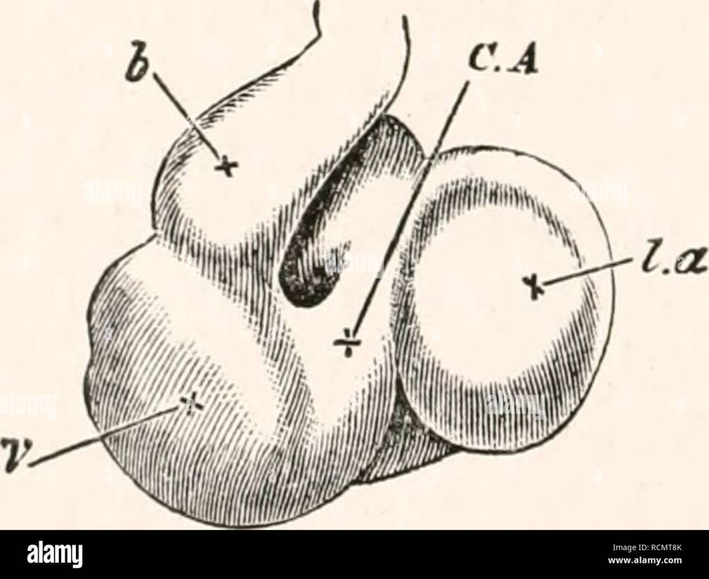 medium resolution of  chap their appearance unite close to the allantois into a single trunk the umbilical vein which running along the splanch