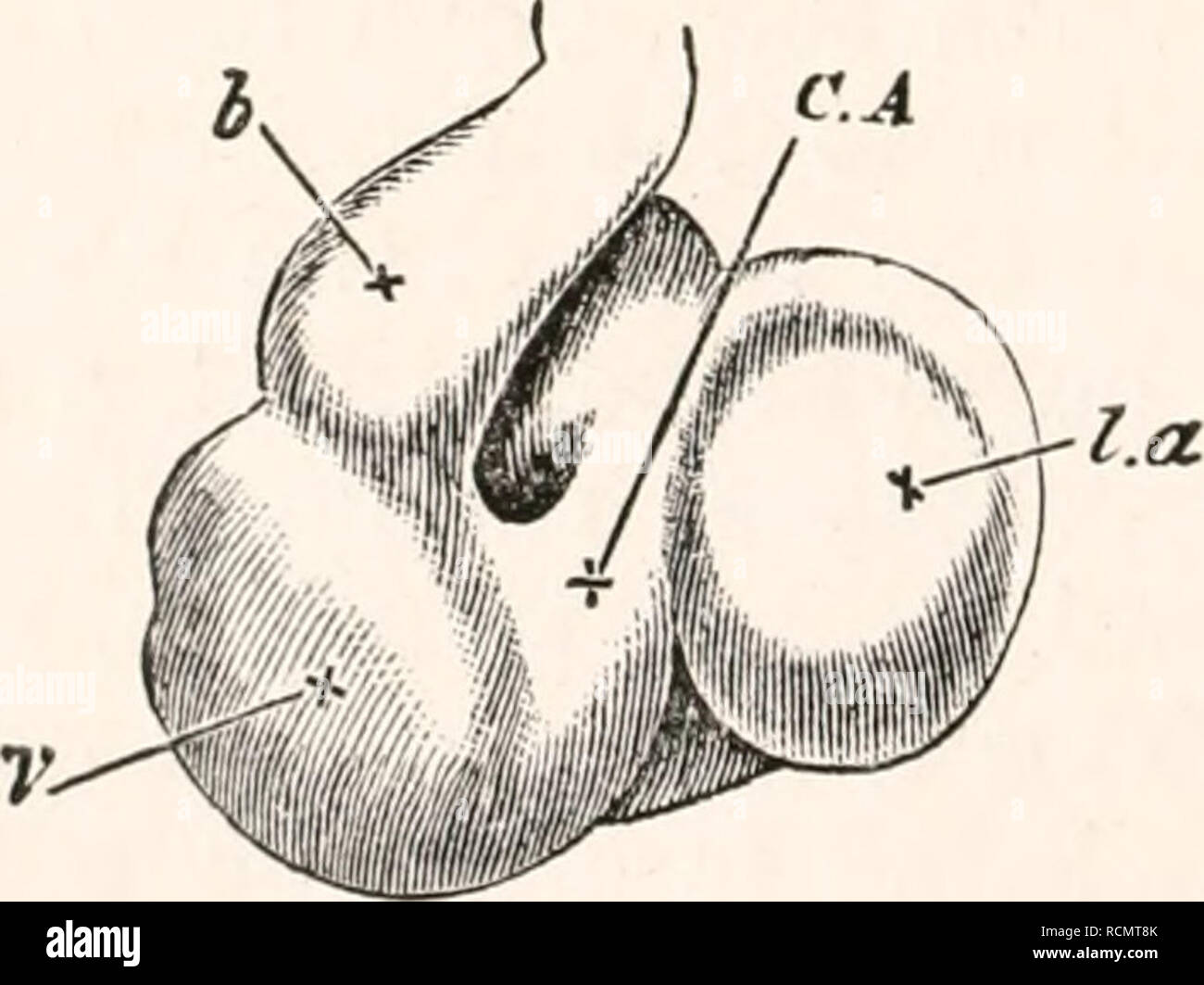 hight resolution of  chap their appearance unite close to the allantois into a single trunk the umbilical vein which running along the splanch