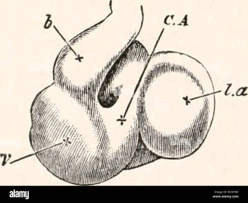 small resolution of  chap their appearance unite close to the allantois into a single trunk the umbilical vein which running along the splanch