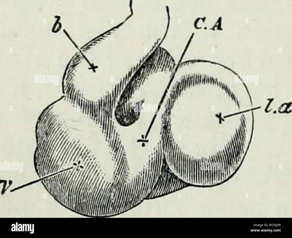 medium resolution of  chap their appearance unite close to the allantois into a single trunk the umbilical vein which running along the splanch nopleure