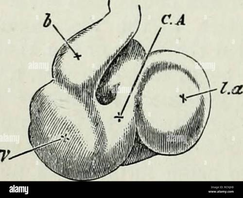 small resolution of  chap their appearance unite close to the allantois into a single trunk the umbilical vein which running along the splanch nopleure