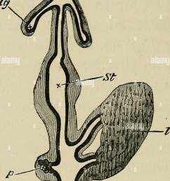 embryology embryology 174 the third day fig 60 chap diagram of a portion of the digestive tract of a chick upon the fourth day copied from gotte  [ 1011 x 1390 Pixel ]