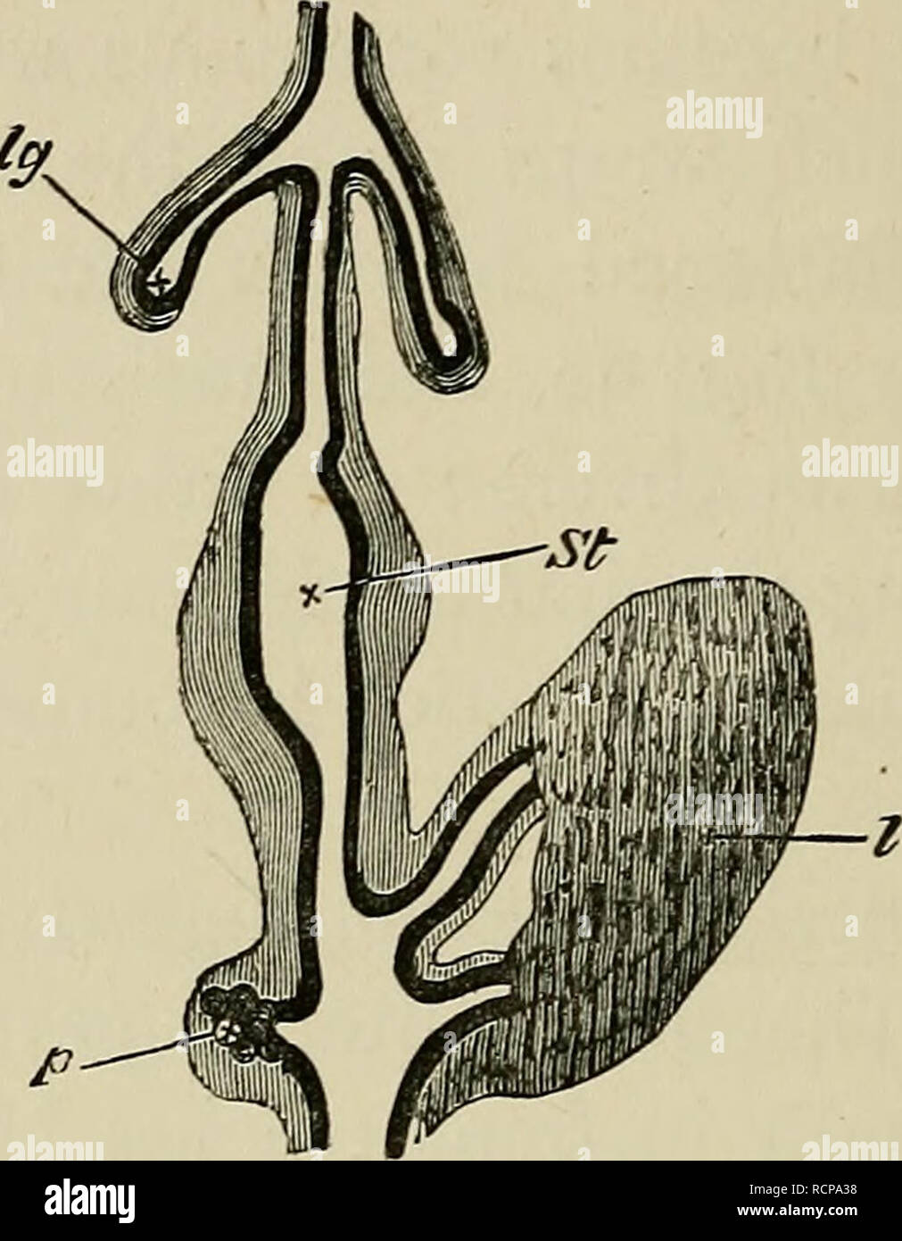 hight resolution of embryology embryology 174 the third day fig 60 chap diagram of a portion of the digestive tract of a chick upon the fourth day copied from gotte