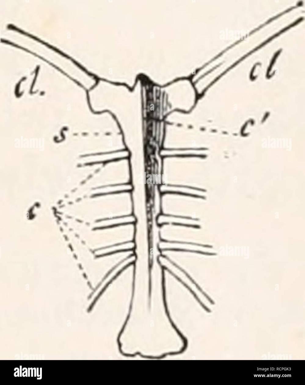 medium resolution of sternum of buteo vulgaris seen a little from one side crs crista sterni furcula c coracoid fig 235 sternum of numida nielea
