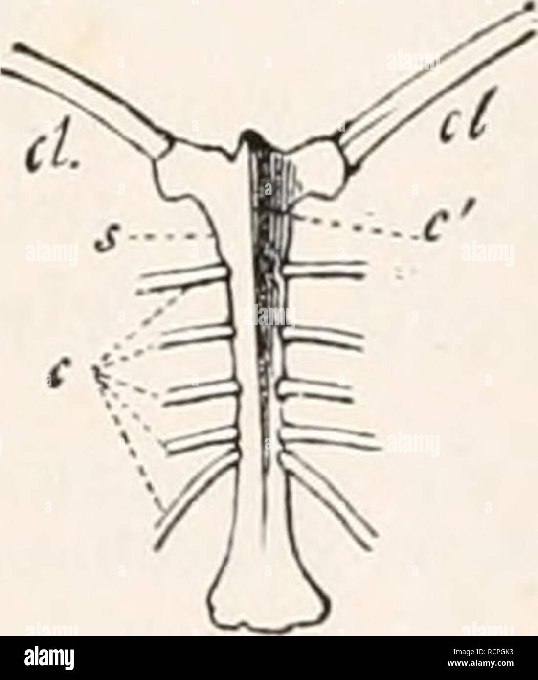 hight resolution of sternum of buteo vulgaris seen a little from one side crs crista sterni furcula c coracoid fig 235 sternum of numida nielea