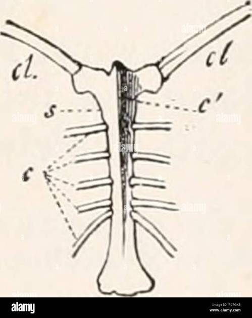 small resolution of sternum of buteo vulgaris seen a little from one side crs crista sterni furcula c coracoid fig 235 sternum of numida nielea