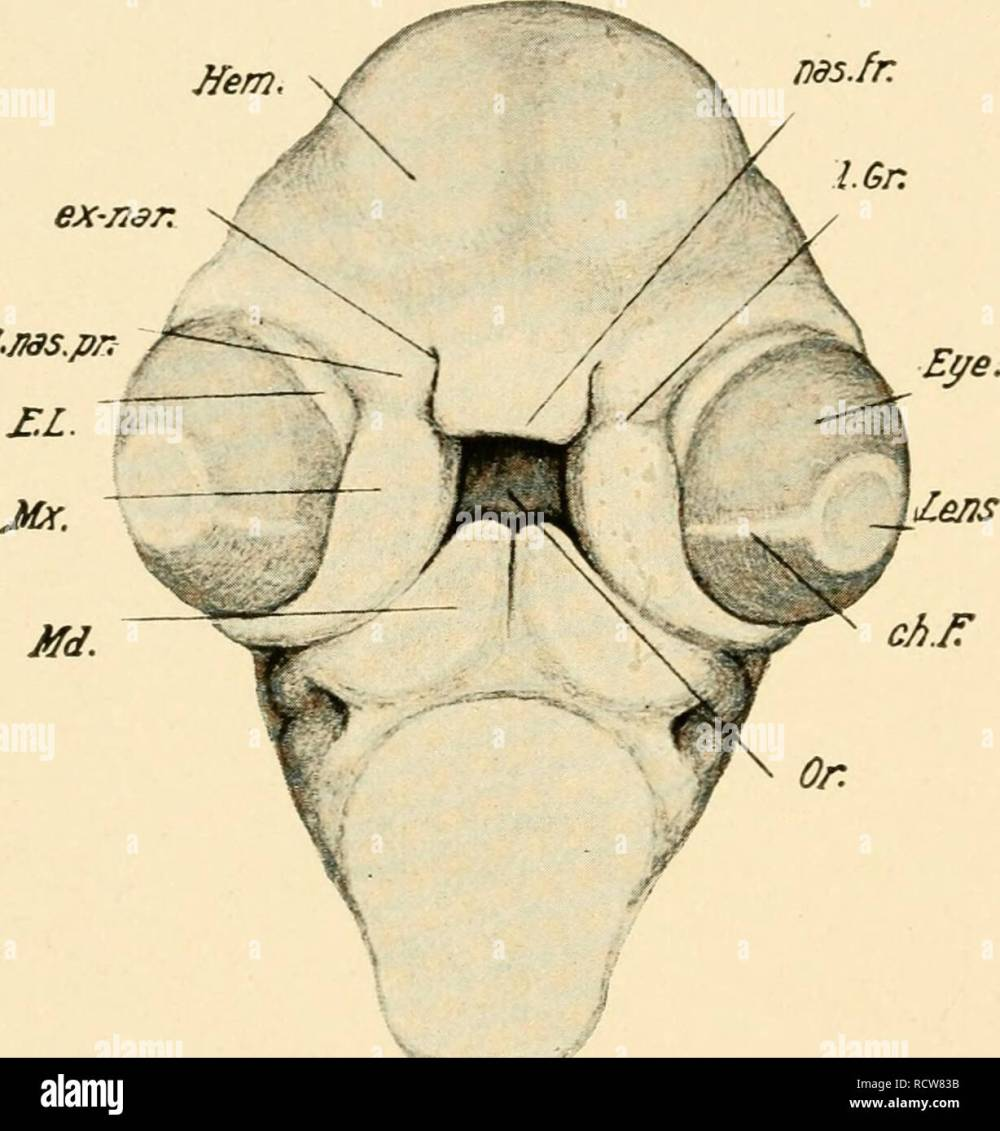 medium resolution of development of the chick an introduction to embryology birds embryology 216 the development of the chick