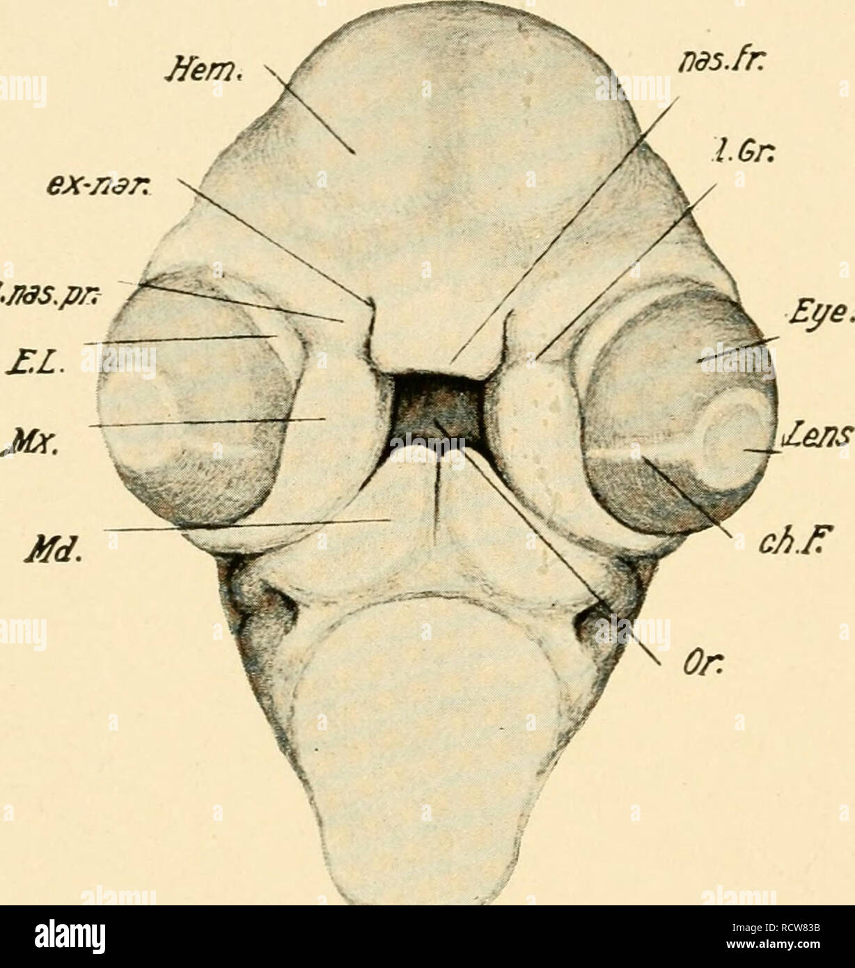 hight resolution of development of the chick an introduction to embryology birds embryology 216 the development of the chick